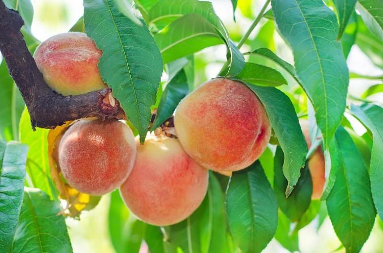 Prunus persica 'Hale Haven', Peach 'Hale Haven', Peach Tree, Flowering Tree, Fruit Tree
