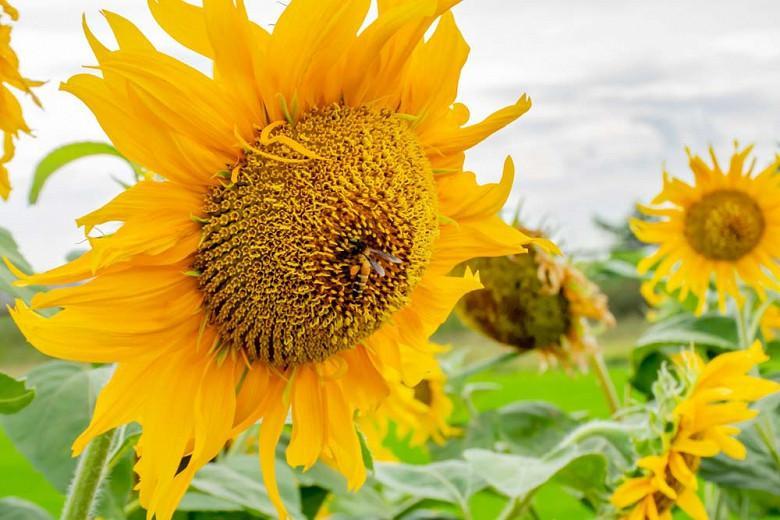 Helianthus annuus Mammoth Grey Stripe, Common Sunflower Mammoth Grey Stripe, Comb Flower Mammoth Grey Stripe, Yellow Flowers, Yellow Annuals
