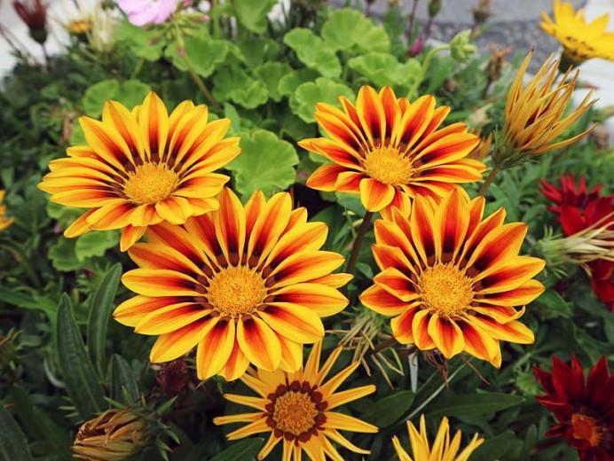 Gazania Tiger Stripes, Treasure Flower 'Tiger Stripes',Tiger Stripes Treasure Flower, Drought tolerant flowers, Bicolor flowers, Bicolor Gazania,  Bicolor Treasure Flowers
