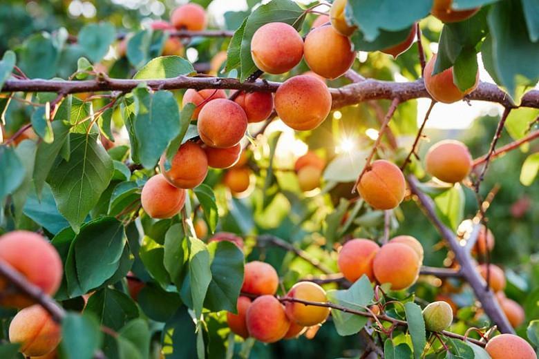 Prunus armeniaca 'Harcot', Apricot 'Harcot', Harcot Apricot, Flowering Tree, Fruit Tree