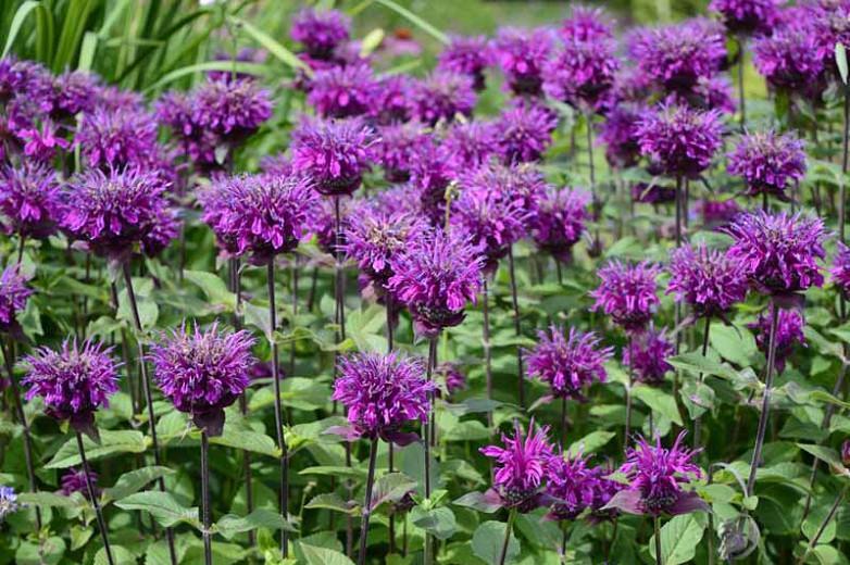 Monarda 'Balmy Purple',Bee Balm 'Balmy Purple', Bergamot 'Balmy Purple', Monarda 'Balmy Purple',Bee Balm 'Balmy Purple', Bergamot 'Balmy Purple', Purple Monarda, Purple Bee Balm, Purple Flowers
