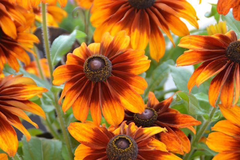 Rudbeckia hirta Chocolate Orange 10 seeds