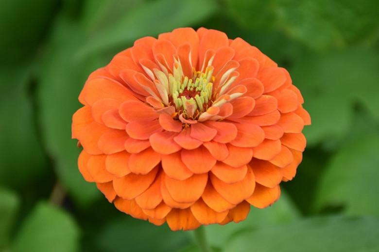 Zinnia 'Orange King', Zinnia Elegans 'Orange King', Orange King Zinnia, Orange Zinnia, Orange Flowers