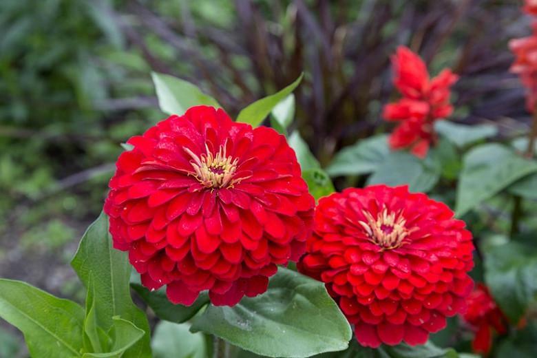 Zinnia Elegans Details about  /Zinnia Cherry Queen Flower Seeds 75 SEEDS
