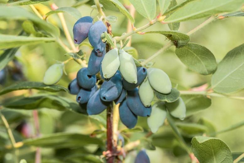 Lonicera caerulea 'Blue Moon', Honeyberry 'Blue Moon', Blue Honeysuckle 'Blue Moon', Edible Honeysuckle 'Blue Moon', Sweetberry Honeysuckle 'Blue Moon', Haskap 'Blue Moon', Blue Berries, White Flowers, Fragrant shrub,
