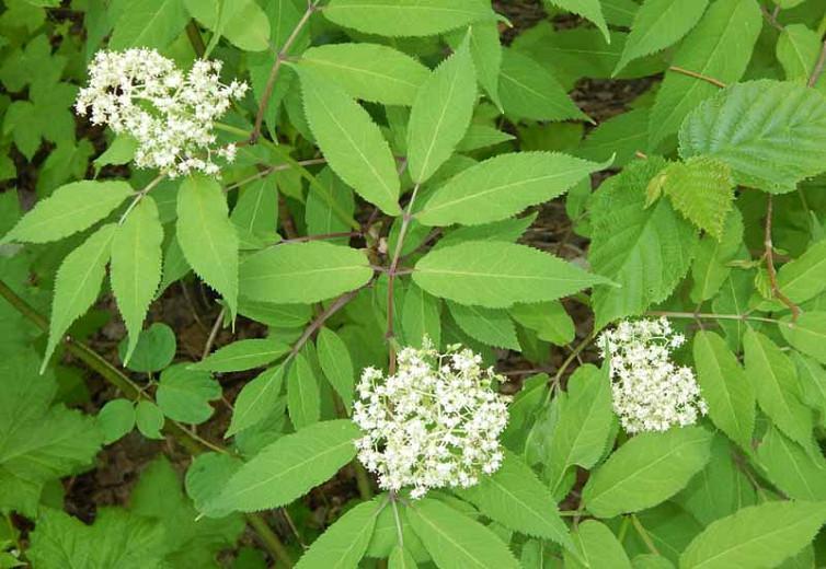 Sambucus canadensis, American Black Elderberry, American Elder, Common Elderberry,Elderberry, Sambucus nigra subsp. canadensis