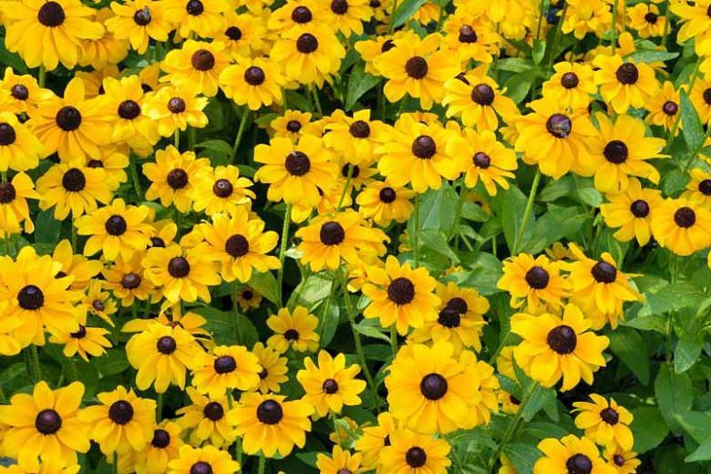 Toto Gloriosa Daisy , Gloriosa Daisy Toto, Rudbeckia Toto, Rudbeckia hirta Toto, Black-eyed Susan Toto, yellow flowers
