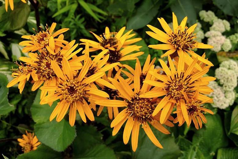 Ligularia dentata 'Desdemona', Leopard Plant 'Desdemona', Perennials, Yellow Flowers