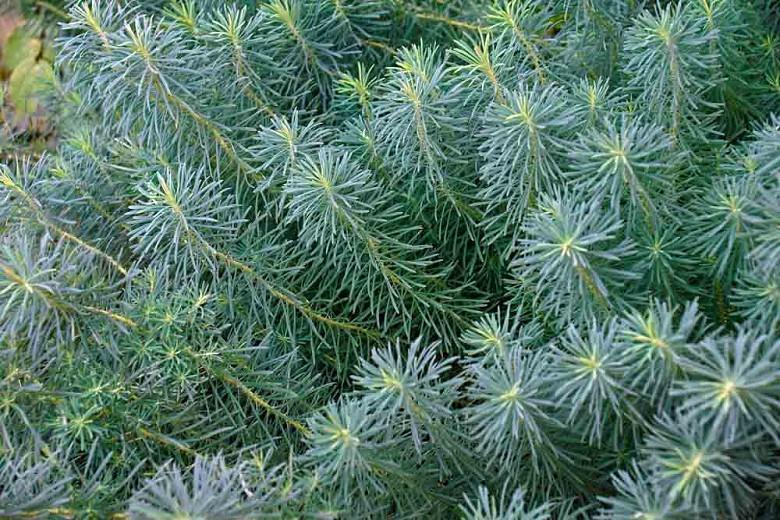 Euphorbia Cyparissias 'Fens Ruby',Cypress Spurge 'Fens Ruby', Bonaparte's Crown 'Fens Ruby', Graveyard Moss 'Fens Ruby', Dwarf Euphorbia, Groundcover Euphorbia