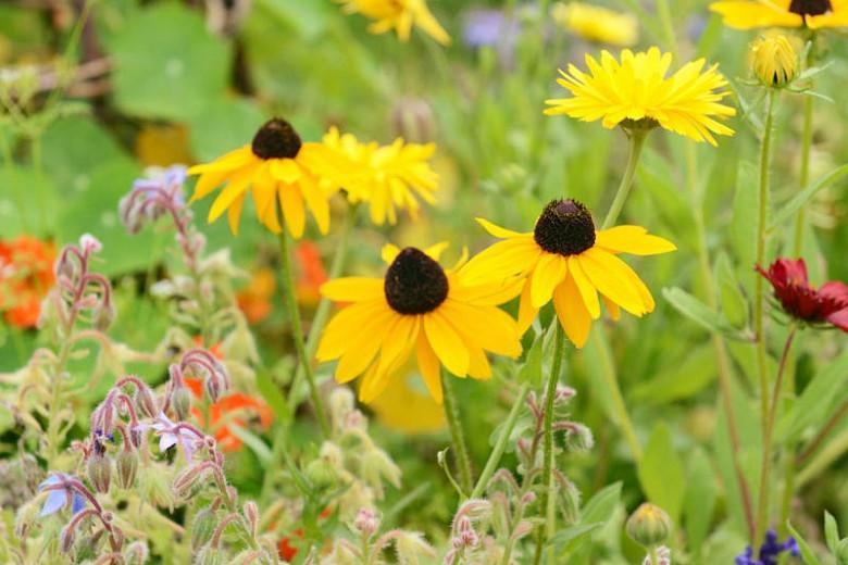 Black-Eyed Susan Marmalade, Rudbeckia Hirta Marmalade, Gloriosa Daisy Marmalade,Yellow Ox-eye Daisy Marmalade, yellow flowers, orange flowers
