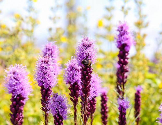 Liatris spicata 'Kobold', Gayfeather 'Kobold', Button Snakeroot 'Kobold', Blazing Star 'Kobold', Kansas Gayfeather 'Kobold', Spike Gayfeather 'Kobold', Purple liatris, Purple Flowers
