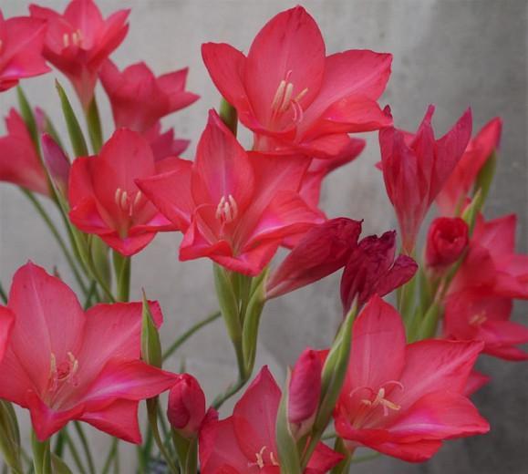Gladiolus carmineus, Cliff Gladiolus, Cliff Lily, Hermanus Cliff Gladiolus, Winter blooming Gladiolus,  Gladiolus, Sword Lily