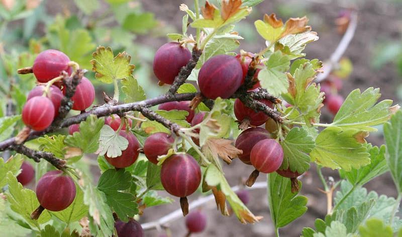 Ribes uva-crispa 'Hinnonmäki Röd', Gooseberry 'Hinnonmäki Röd', Ribes uva-crispa HINNOMAKI RED, Ribes uva-crispa 'Hino Red', Red Berries, Red Currants, Fruit Shrub