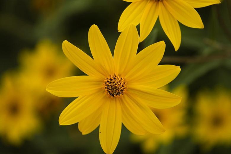 Helianthus occidentalis, Western Sunflower, Fewleaf Sunflower, Mcdowell's Sunflower, Yellow Flowers, Yellow Perennials