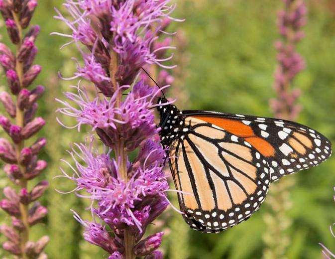 Liatris pycnostachya, Prairie Blazing Star, Kansas Gayfeather, Kansas Gay Feather, Cat-Tail Gay Feather, Prairie Button, Purple Liatris, Purple Flowers