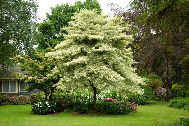 Cornus controversa variegata Wedding Cake Tree