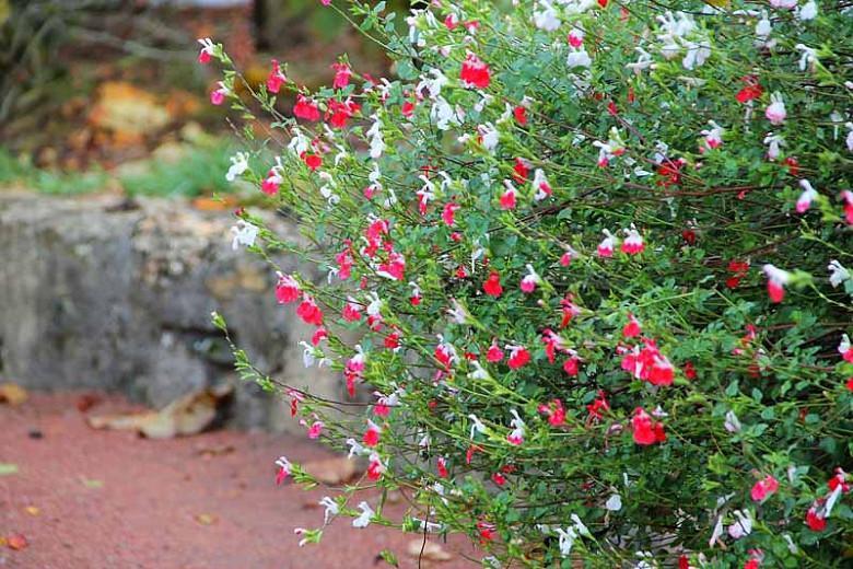 Salvia Hot Lips, Sage 'Hot Lips', Salvia x jamensis 'Hot Lips', Salvia microphylla 'Hot Lips', Red perennial, Red Sage, Bicolor Salvia, Bicolor Sage