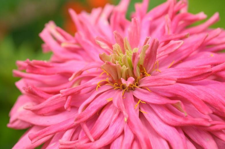 Zinnia elegans 'Pinca', Zinnia Pinca, Pinca Zinnia, Pink Zinnia, Pink Flowers, Cactus Zinnia, Spider Zinnia