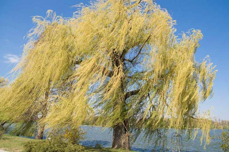 Salix alba 'Tristis', White Willow 'Tristis', Golden Weeping Willow, Salix alba 'Vitellina Pendula', Salix alba 'Vitellina Tristis', Salix vitellina 'Pendula', Weeping trees, Foliage, Fall color, Winter color,