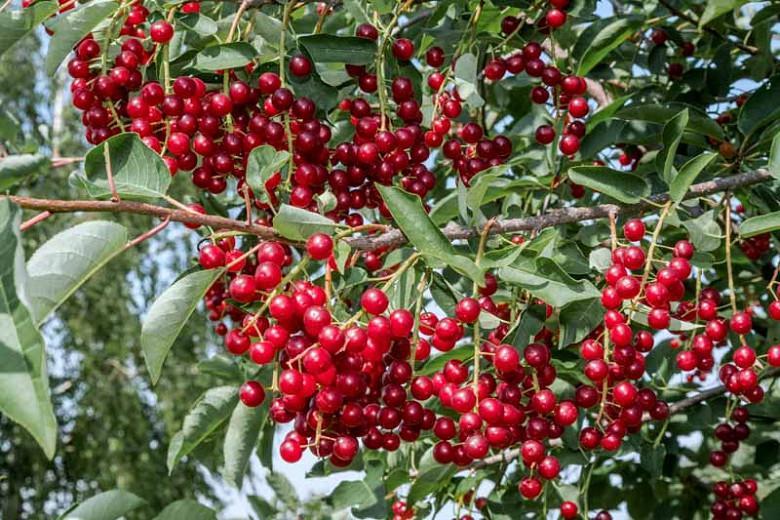 Prunus virginiana, Chokecherry, American Chokecherry, Virginian Bird Cherry, Flowering Tree, White flowers, Red Berries