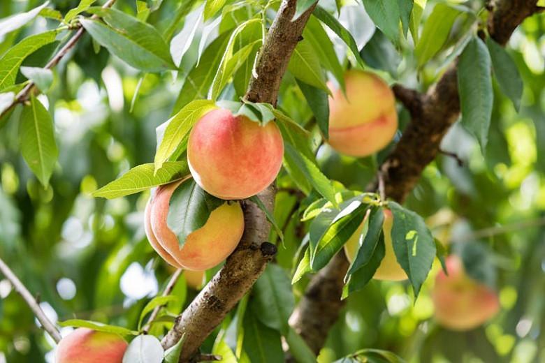 Prunus persica 'Belle of Georgia', Dwarf Peach 'Belle of Georgia', Peach Tree, Flowering Tree, Fruit Tree