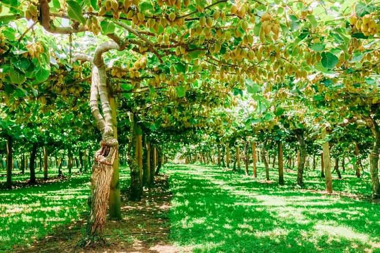 Actinidia deliciosa, Kiwifruit, Kiwi Fruit, Chinese Gooseberry, Smooth-skinned Kiwifruit, Yangtao, Vines, Climbers, Kiwi Vine