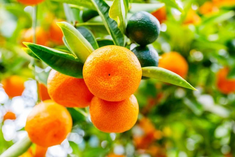 Citrus x microcarpa, Calamondin, Calamondin Orange, Panama Orange, Philippine Lime, Citrus citrofortunella mitis, Citrus madurensis Calamondin, Citrus × microcarpa Philippine lime, Citrus × mitis, Citrus × mitis 'Calmondin', Citrus Calamondin, × Citrofortunella microcarpa, × Citrofortunella mitis, × Citrofortunella mitis 'Calamondin'