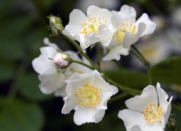 Rosa spinosissima, Scotch Rose, Burnet Rose, Scottish Briar, Rosa pimpinellifolia, Wild Roses, Shrub Roses, White roses, Hardy roses