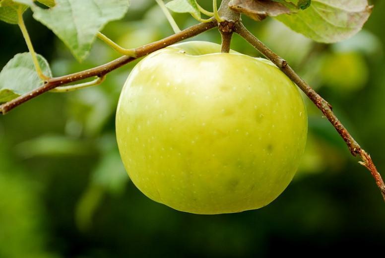 Malus domestica 'Lodi', Apple 'Lodi', Lodi Apple, Malus 'Lodi', Yellow Apple, White flowers,