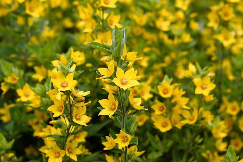 Lysimachia Punctata,Yellow Loosestrife, Whorled Loosestrife, Garden Loosestrife, Dotted Loosestrife, Yellow flowers