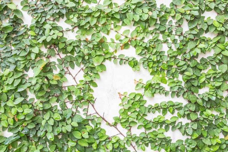 Ficus pumila, Creeping Fig, Climbing Fig, Creeping Rubber Plant, Ok-Gue, Ficus repens, Figs, Groundcovers, Ground Covers, Evergreen Fig, Evergreen Groundcovers