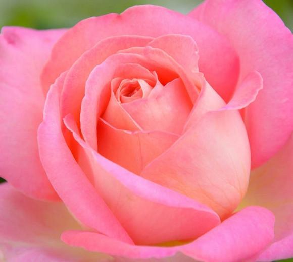 Rosa 'Chicago Peace', Rose 'Chicago Peace', Rosa ' JOHnago', Hybrid Tea Roses, Shrub Roses, Purple roses, Pink roses, Shrub roses, Rose bush