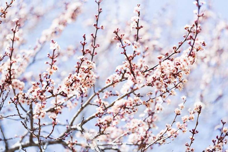 Prunus domestica 'Stanley', European Plum 'Stanley', Dwarf Plum 'Stanley', Stanley Dwarf Plum, Flowering Tree, Fruit Tree
