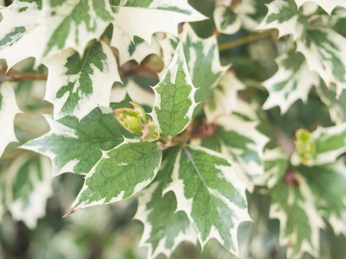 Osmanthus heterophyllus 'Variegatus', Holly Osmanthus 'Variegatus', Holly Olive 'Variegatus', Chinese Holly 'Variegatus', False Holly 'Variegatus', Fragrant Shrub 'Variegatus', Fragrant Tree 'Variegatus'