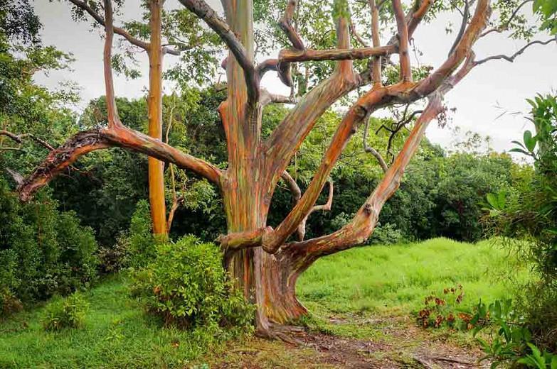 Eucalyptus deglupta, Rainbow Gum, Indonesian Gum, Mindanao Gum, Rainbow Eucalyptus, Bagras, Kamarere,, Evergreen Tree, Colorful Bark