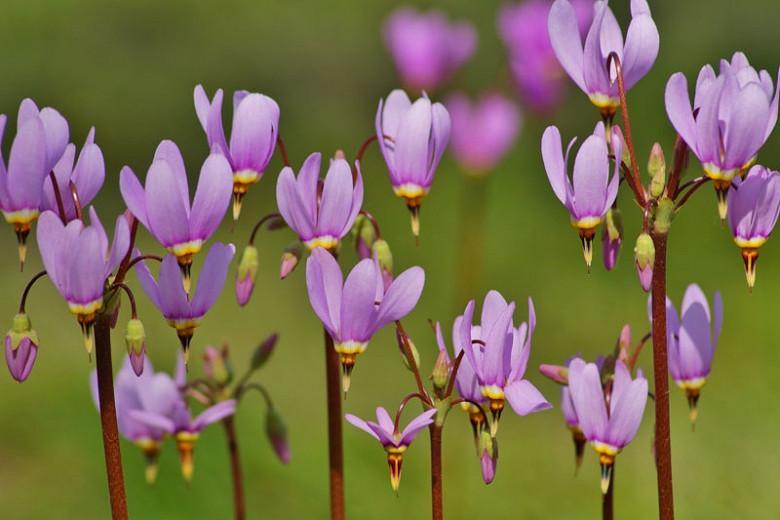 Alchemilla Mollis, Lady's mantle, AGM perennial, deer tolerant plants, rabbits tolerant plants, award winning perennial