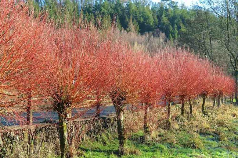 Salix alba var. vitellina 'Britzensis', Scarlet Willow, Coral Bark Willow, Salix alba 'Britzensis', Salix alba 'Chermesina', Salix alba subsp. vitellina 'Britzensis', Deciduous Shrubs, Foliage, Fall color, Winter color, Red bark, Coral Bark