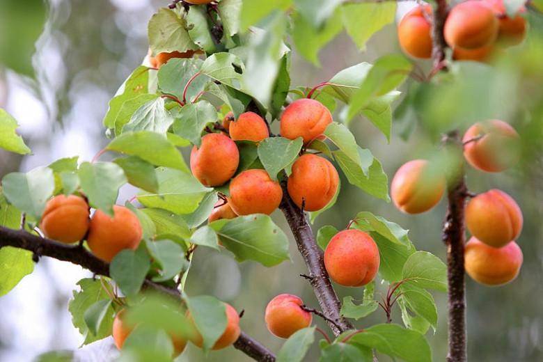 Prunus armeniaca 'Early Golden', Apricot 'Early Golden', Early Golden Apricot, Flowering Tree, Fruit Tree