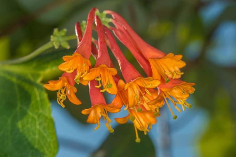 Lonicera × brownii 'Dropmore Scarlet', Honeysuckle 'Dropmore Scarlet', Lonicera sempervirens 'Dropmore Scarlet', Red flowers, Orange flowers, Semi-evergreen vine, semi-evergreen climber