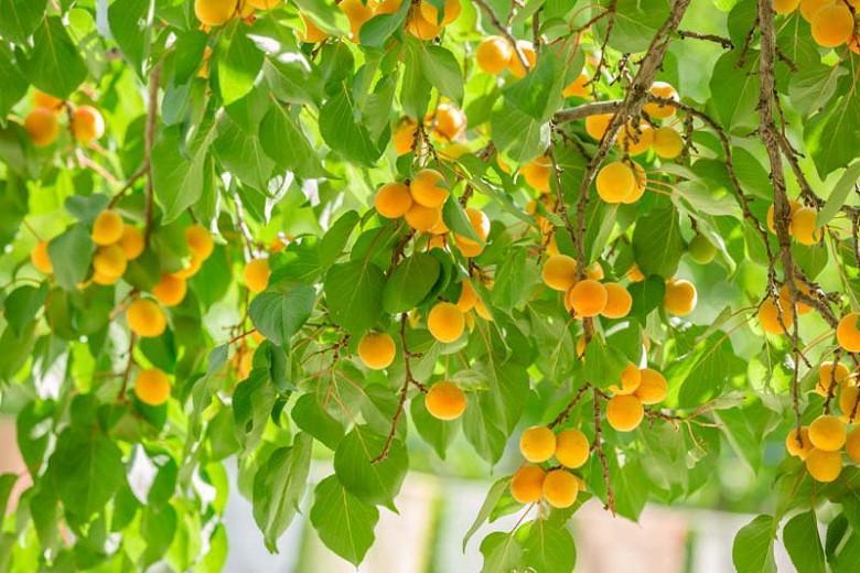 Prunus armeniaca 'Moorpark', Apricot 'Moorpark', Moorpark Apricot, Flowering Tree, Fruit Tree