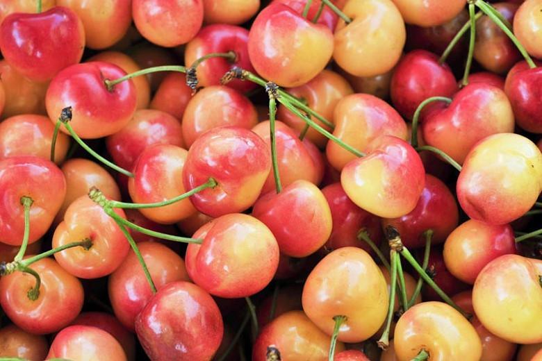 Prunus avium 'Rainier', Sweet Cherry 'Rainier', Rainier Sweet Cherry, White flowers, Spring Flowers, Cherry tree, Cherries, Red Cherries, Fruit tree