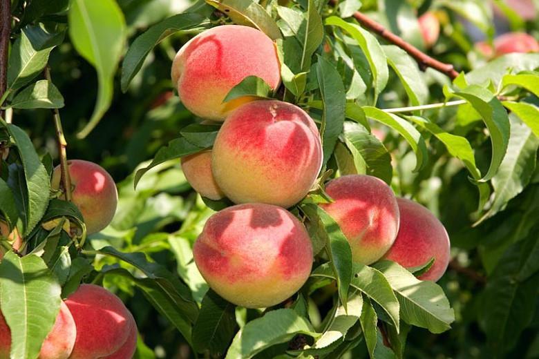 Prunus persica 'Elberta', Peach 'Elberta', Peach Tree, Flowering Tree, Fruit Tree