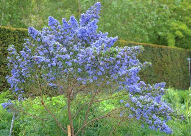Ceanothus 'Puget Blue',  California Lilac 'Puget Blue', Ceanothus impressus 'Puget Blue', Blue Flowers, Fragrant Shrubs, Evergreen Shrubs