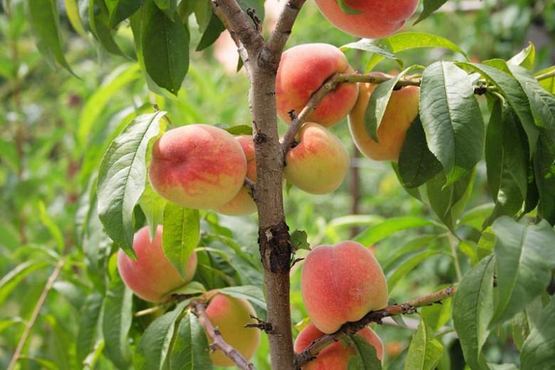 Prunus persica 'Reliance', Peach 'Reliance', Peach Tree, Flowering Tree, Fruit Tree