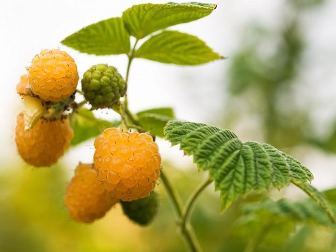 Rubus idaeus 'Anne', Raspberry 'Anne', Everbearing Raspberry, Raspberries, Yellow Berries, Fruiting Shrub