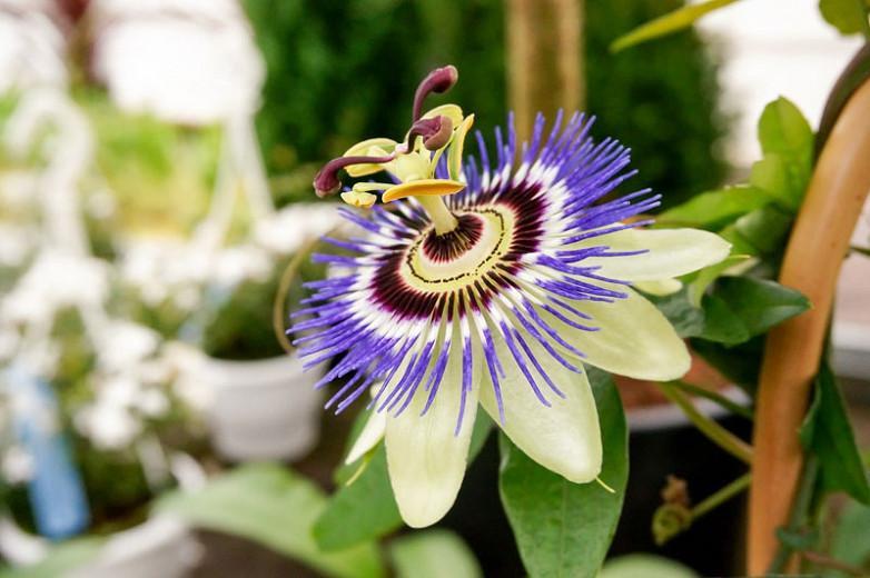 Passiflora 'Blue Bouquet', Passion Flower 'Blue Bouquet', Blue Passion Flower, Blue Vines, Mediterranean Vines, Blue Flowers, Evergreen Vines