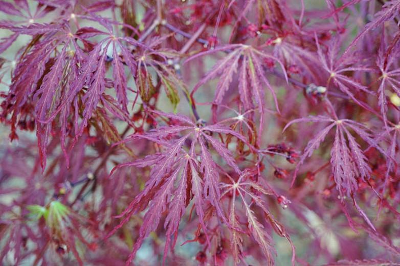 Acer Palmatum Garnet Laceleaf Japanese Maple