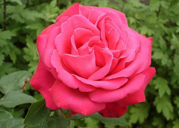 Rosa 'Fragrant Cloud', Rose 'Fragrant Cloud', Rosa 'Duftwolke', Rosa 'Nauge Parfumé',Rosa 'Tanellis', Hybrid Tea Roses, Shrub Roses, Red roses, Shrub roses, Rose bush