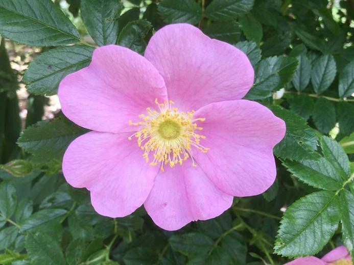 Rosa virginiana, Virginia Rose, Wild Rose, Prairie Rose, American Dwarf Wild Rose, Shining-Leaved Rose, Rosa lucida, Shrub Roses, Pink roses, Hardy roses