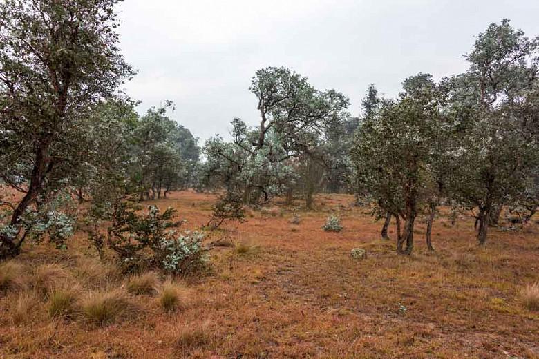 Eucalyptus cinerea, Argyle Apple, Silver Dollar Tree, Evergreen Tree, Beautiful Bark, Fragrant Tree